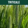 triticale-textoM